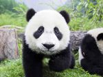 Giant Pandas, Yangtze River and Golden Triangle Combo