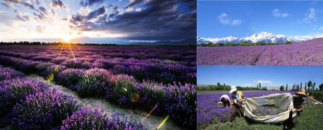 Lavender in Yili, Xinjiang, Best Places to Travel in Early Summer